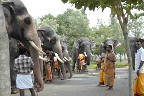 Elephants line up for the Abisheikam